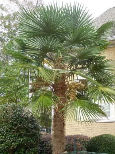 Moulin à vent Palmier Graines T31 Hardy Trachycarpus fortunei Evergreen 15/30/60 Seed (30)
