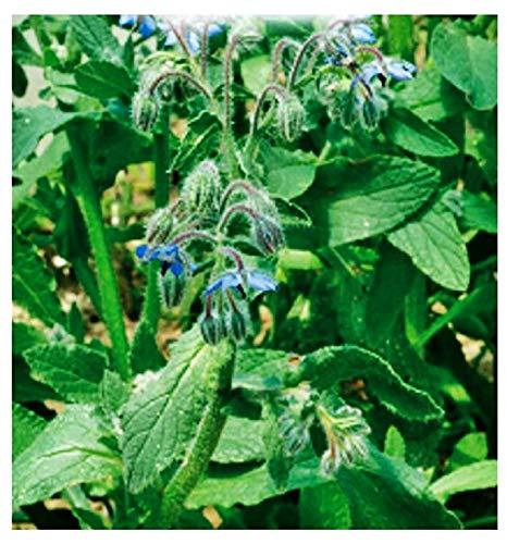 Graines de bourrache - légumes - borago officinalis - environ 90 graines - les meilleures graines de plantes - fleurs - fruits rares - bourrache - idée cadeau originale - excellente qualité