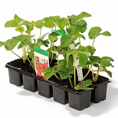 Müllers Grüner Garten Shop Erdbeere Sorte Elsanta, Erdbeerpflanze, mittelfrühe Sorte mit milder Süße, im 10-er Tray