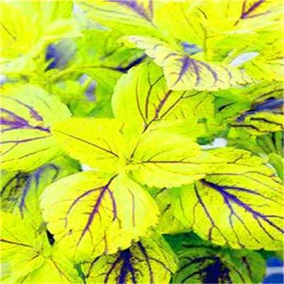 GETSO Vente Hot 100 Pcs Bonsai Arc-en-Coleus Fleur Plantes Beau Feuillage Couleur Parfaite Dragon Balcon Begonia Bonsai Facile à cultiver: 5