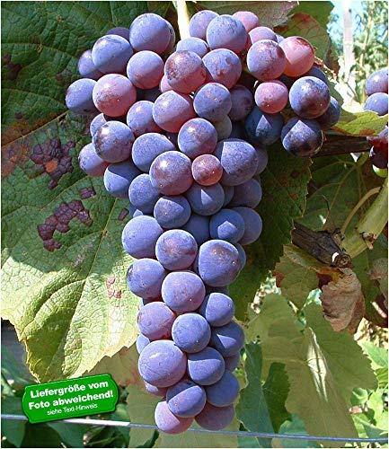BALDUR-Garten Kernlose Tafel-Trauben 'Venus®' Weinreben, 1 Pflanze, Vitis vinifera