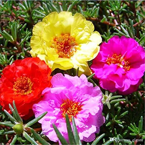 500 Mixed Color Moss-rose Purslane...