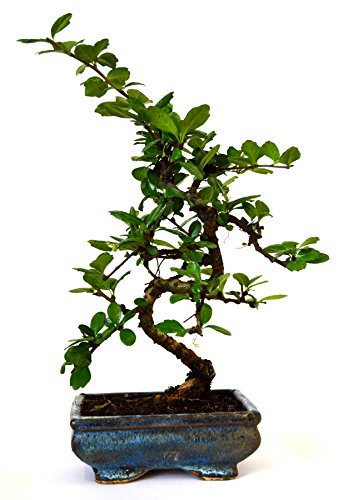 9GreenBox - Fukien Tea Bonsai with 6 Ceramic Pot