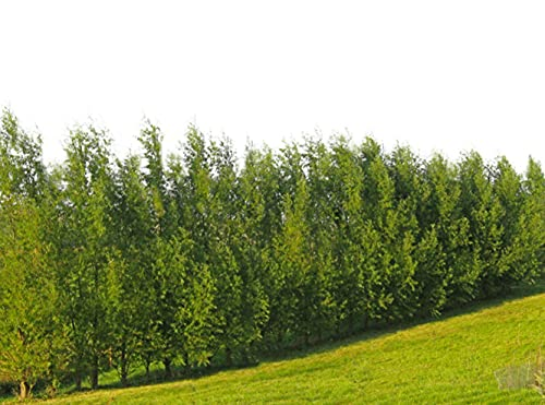 100 Hybrid Willow Tree Plant - Austree Cuttings Grow 12 Feet 1st Season - Create Instant Privacy Fence Hedge Fast Shade- Live Trees Fast Growing - Twigz Nursery
