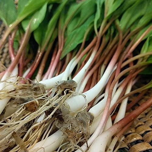 Ramp,Wild Leek Seeds (Allium tricoccum)...
