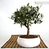 Bonsai di Olivo in ciotola bassa