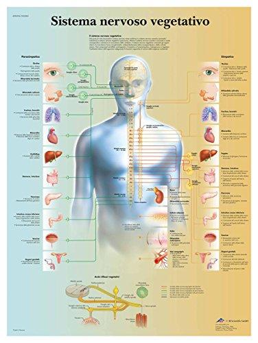 3B Scientific VR4610L Sistema Nervoso Vegetativo