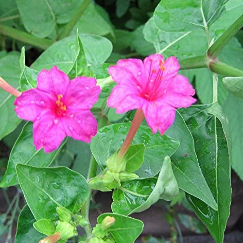Semillas de flores1 Semillas de bolsa Productiva De Alto Rendimiento Natural Fácil de Sembrar Mirabilis Jalapa - Mirabilis jalapa semillas