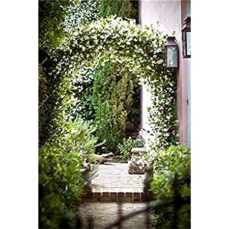 6: 100 piezas de semillas de jazmín trepadoras exóticas semillas de jazmín coloridas planta fragante semilla de jazmín árabe planta de bonsái jardín de su casa