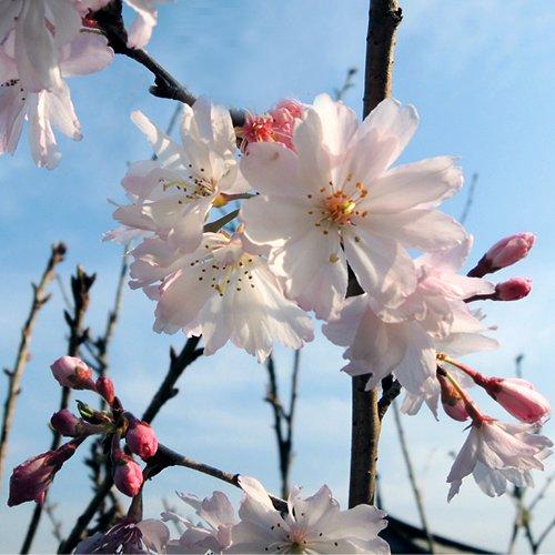 桜(サクラ)苗木 十月桜
