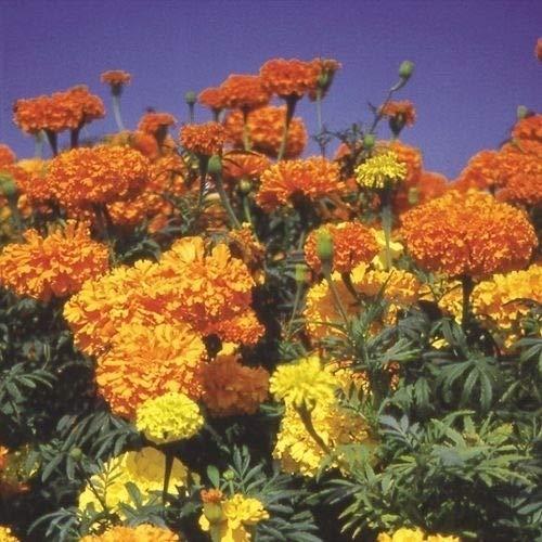 国華園 種 花たね大量販売 マリーゴールド畑(アフリカン系) 1袋(10g)/メール便配送 21年春商品