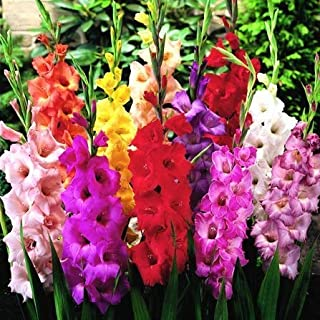 Mix Gladiolus Bulbs (2 Bulbs) Hot Sale Elegant Noble Flowers Excellent Cut Flowers Quality Assurance