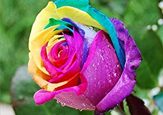 Best rainbow rose bulbs Reviews