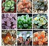 Portal Cool Semillas de plantas verdes Haworthia Truncata Macetas Macetas suculentas