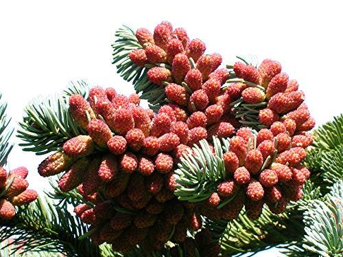 Edeltanne (Abies procera, Syn.: Abies nobilis) 15 Samen >Frisches Saatgut< In den USA ein sehr beliebter Weihnachtsbaum