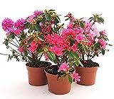 AZALEA DA ESTERNO XL SET, ROSA, ROSA INTENSO E SALMONE, vaso 16cm, piante vere