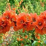 Flores de membrillo Chaenomeles Japonica BONSAI 10 semillas