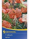 Lilien Tigerlilie orange und schwarze Tupfen