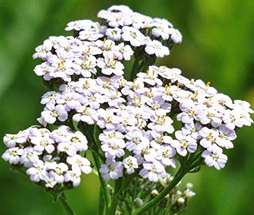 White Yarrow Seeds (Achillea Millefolium) - 10,000 Seeds by Seeds2Go