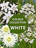 BULBi, Bulbes a Fleur d'Eté Collection Blanc, Mélange Pack: 61 Bulbes (Calibre XL), 4 *Lelies Casa Blanca, 3* Dahlia My Love, 4* Agapanthus white en 50* Gladiolus acidanthera.