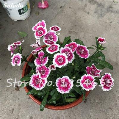 Inde importation Œillets Seed Dianthus caryophyllus Embellir et de purification d'air bricolage jardin Plantation maman cadeau 120 Pcs 1