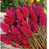 Eternity Improved Celosia Seeds (Celosia argentea plumosa) 30+ Rare Seeds + FREE Bonus 6 Variety Seed Pack - a $29.95 Value! In FROZEN SEED CAPSULES for Growing Seeds Now or Saving Seeds For Years