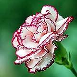 Yixiudz 50 Pièces Oeillet Fleur Graines Dianthus Caryophyllus Graines Maison Jardin Décoration Maman Cadeau