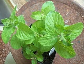 Apple Mint - Herb Plant - Very Fragrant - Mentha - 3.5