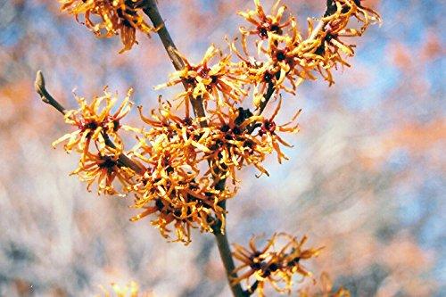 Asklepios-seeds® - 30 Samen Hamamelis vernalis, Zaubernuss, Hexenhasel