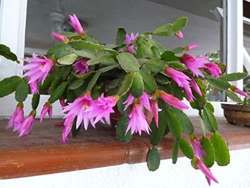 Hatiora rosea ~ Rose Pâques Cactus ~ Fleurs roses superbes ~ 5 Graines rares ~