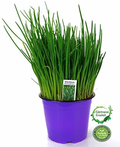 Schnittlauch Pflanze, Marktfrische Pflanze, Allium schoenoprasum