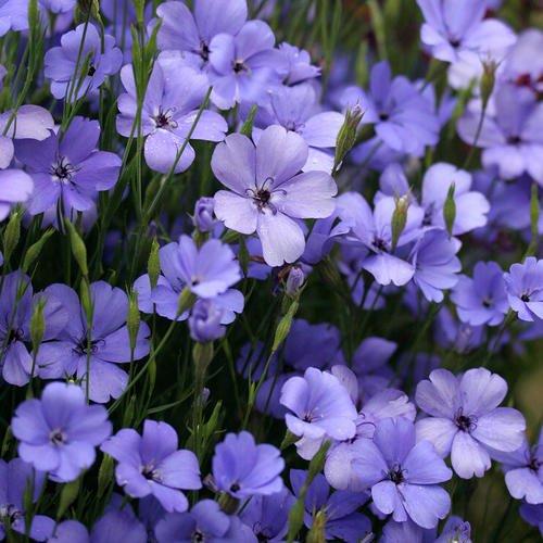 100 graines - Graines silène Blue Angel Flower (Viscaria oculata)