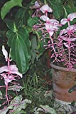 Notebook: A Photo Of Medinilla magnifica Lindl,...