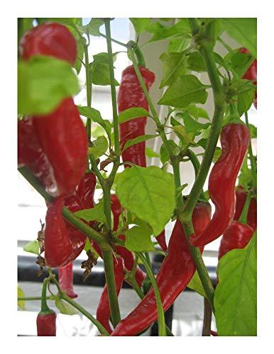 Premier Seeds Direct Zeer scherpe Portugese peper bevat 100 zaden