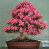 Azalee Samen Bonsai Baum Samen Blume Garten Topf Samen 10 teile/beutel