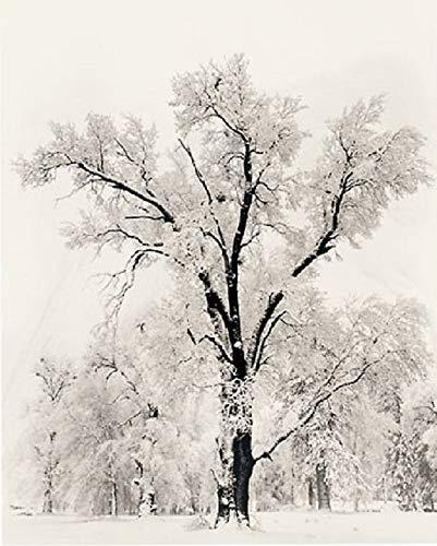 Pôster de impressão de paisagem preto e branco Pedder Oak Tree Snowstorm de Ansel Adams 61 x 91 cm, 24x36 Print, 1