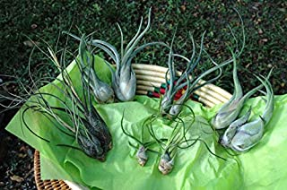 Air Plant Variety - Tillandsia - The Exotic Collection - 10 Air Plants from Central America at a Great Price! for Air Plant Shop orders over $45