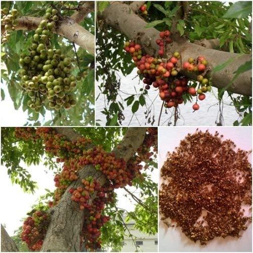 Cluster figuiers 100 graines, Ficus racemosa, Bonsaï Graines, Thai Unique Natif