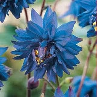 25+ Aquilegia Blue Barlow Flower Seeds / Perennial