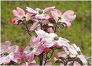 ハナミズキ苗木 アメリカハナミズキ ピンク花 ジュニアミス