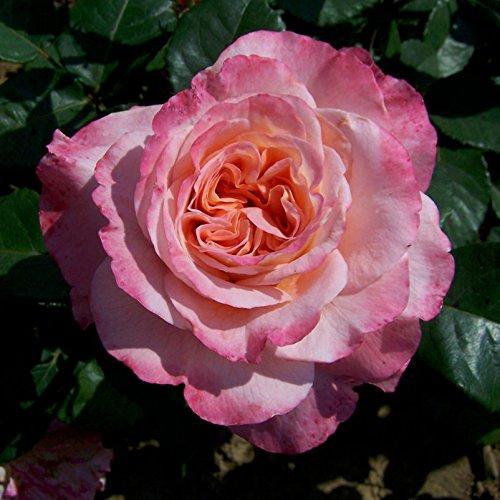 Edelrose 'Augusta Luise®' ist eine rose-apricotfarbene, öfterblühende Gartenrose mit unvergleichlich intensivem Duft. Im 6 Liter Topf. 6 lt. Topf