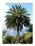 Kanarische Dattelpalme (Phoenix canariensis) 10 Samen -Tolle Zimmerpflanze-