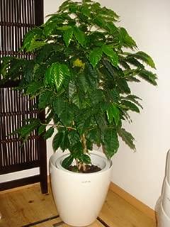 鉢カバー付きコーヒーの木/130cm前後(10号)