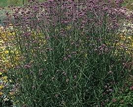 Samenliebe BIO Eisenkraut Samen Verbena bonariensis Zitronenstrauch Zitronenverbene Saatgut f/ür ca 1000 Pflanzen