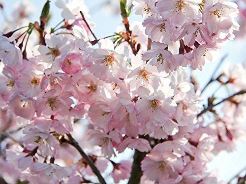 Japanische Blütenkirsche 'Kanzan' - Prunus serrulata Kanzan - Containerware 60-100 cm - Garten von Ehren®