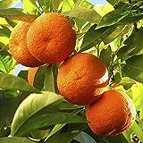 YouGarden Citrus Orange Tree, 5 Litre Pot