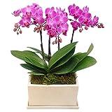 ミニ胡蝶蘭 ギフト チュンリー パルテノ鉢 5.5号鉢 3本立 お花 プレゼント お祝い 開店祝い 贈り物