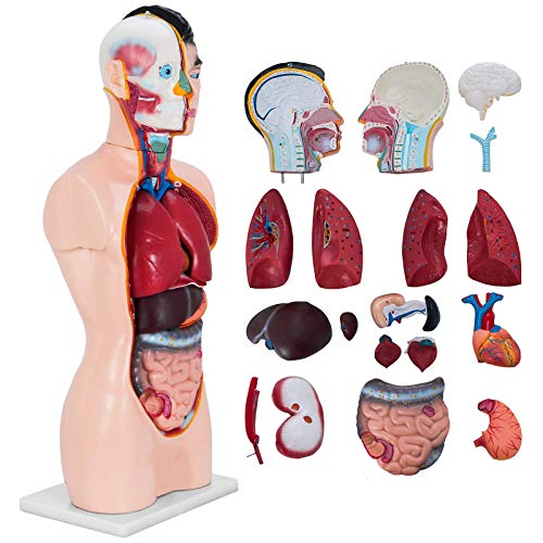 YUXINCAI Anatomía Torso Humano Modelo De Cuerpo Corazón Cerebro Esqueleto Órganos Internos Médicos Anatómicos, Esqueleto Anatomía Médica De Tamaño Natural Herramienta De Enseñanza Educativa