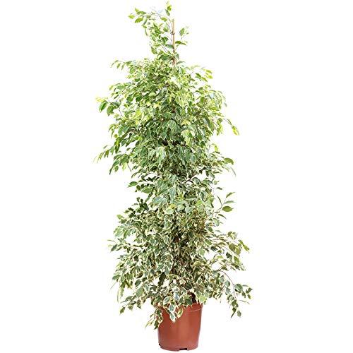 Birkenfeige 'Starlight' - Ficus benjamini - Höhe ca. 160 cm, Topf-Ø 27 cm