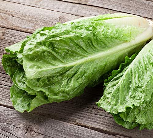 """250 x Samen Salat""""Römersalat"""" mehrjährig 100% Natursamen aus Portugal handgepflückt"""